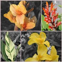 collage 4 variétés de cannas